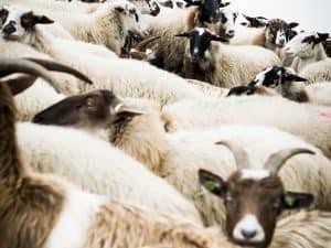 Trouwfotograaf Heerlen, Limburg - Sjurlie, bruidspaar tussen schapen