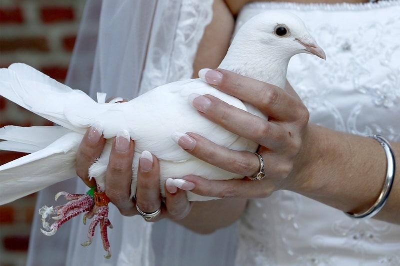 Witte bruidsduif, bruiloft Brabant, Frans